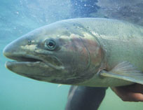 salmonWater_0